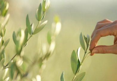 Листа от маслина – описание, състав и действие
