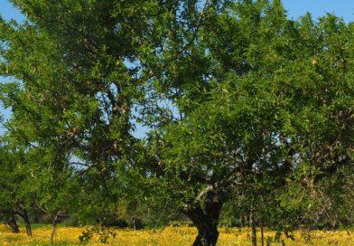 Екстрактът от маслинови листа успешно регулира кръвно налягане!